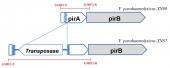 Phương pháp PCR phát hiện đồng thời bệnh AHPND và mutant-AHPND