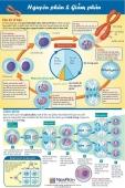 [Infographic] Nguyên phân và Giảm phân