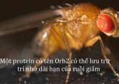 [Điểm tin] Protein Orb2 giúp ruồi giấm lưu trữ trí nhớ dài hạn
